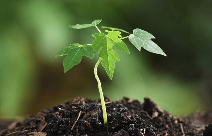 ta cay du du non moi trong ngan gon hay nhat - Tả cây đu đủ non mới trồng ngắn gọn hay nhất