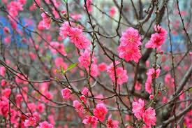 MS460 - Tả cây hoa đào ngày Tết